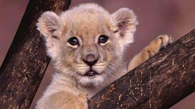 piccoli leoni crescono...